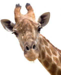 Hoof van een giraf